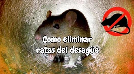 Como eliminar ratas del desagüe