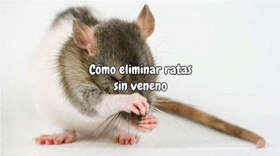 Como eliminar ratas sin veneno