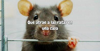 Que atrae a las ratas en una casa