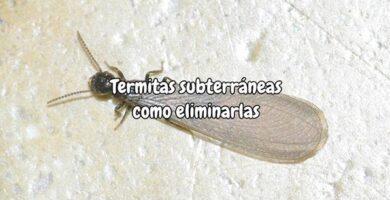 Termitas subterráneas como eliminarlas